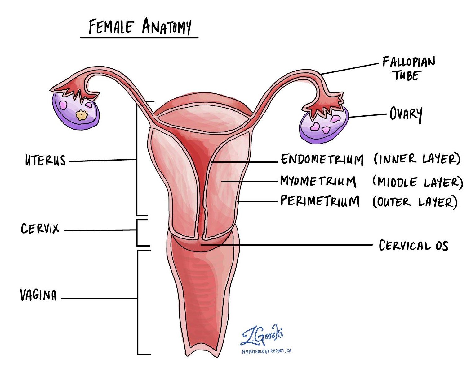 Gynecological tract