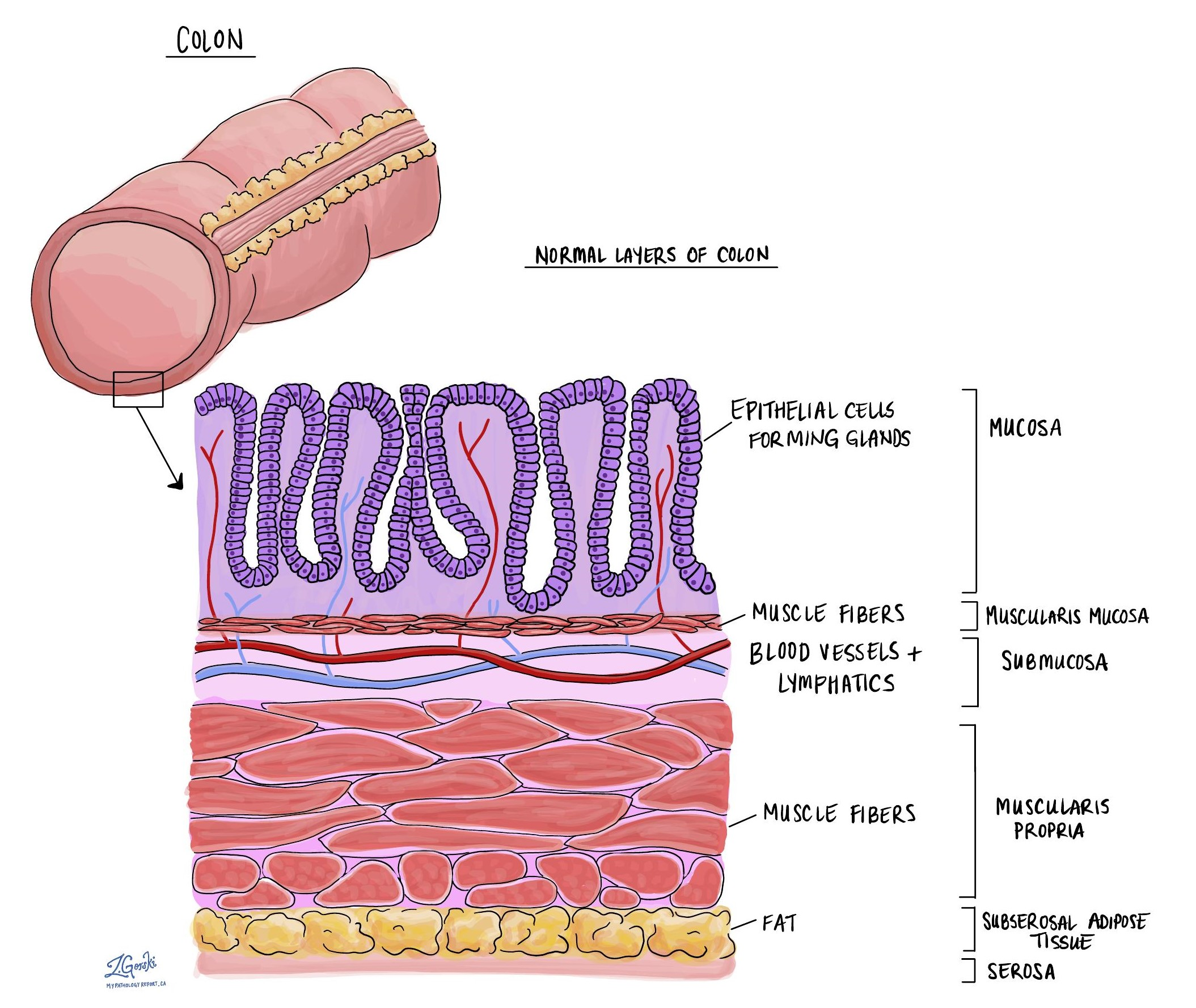 normal colon layers