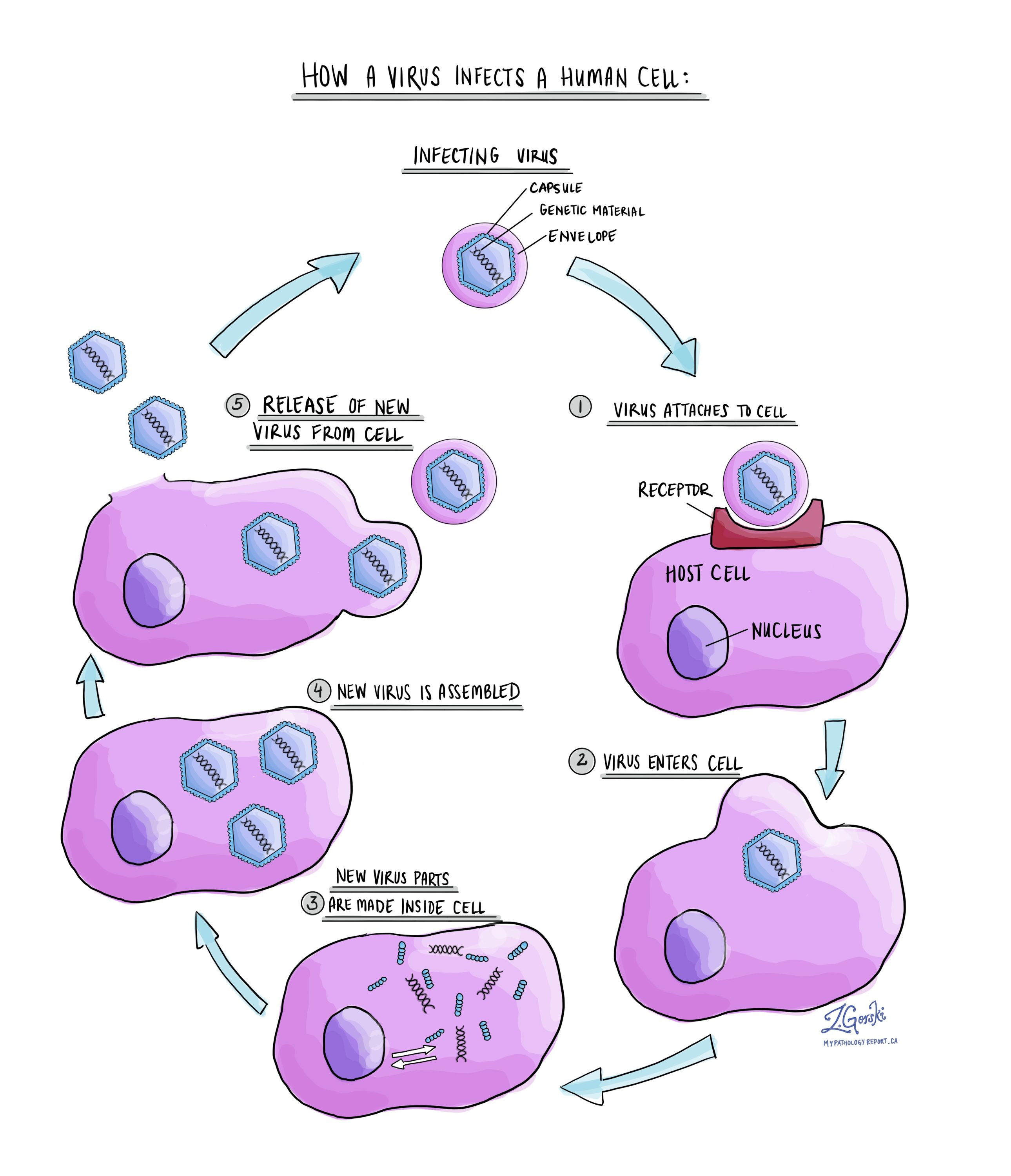 Cycle of a virus