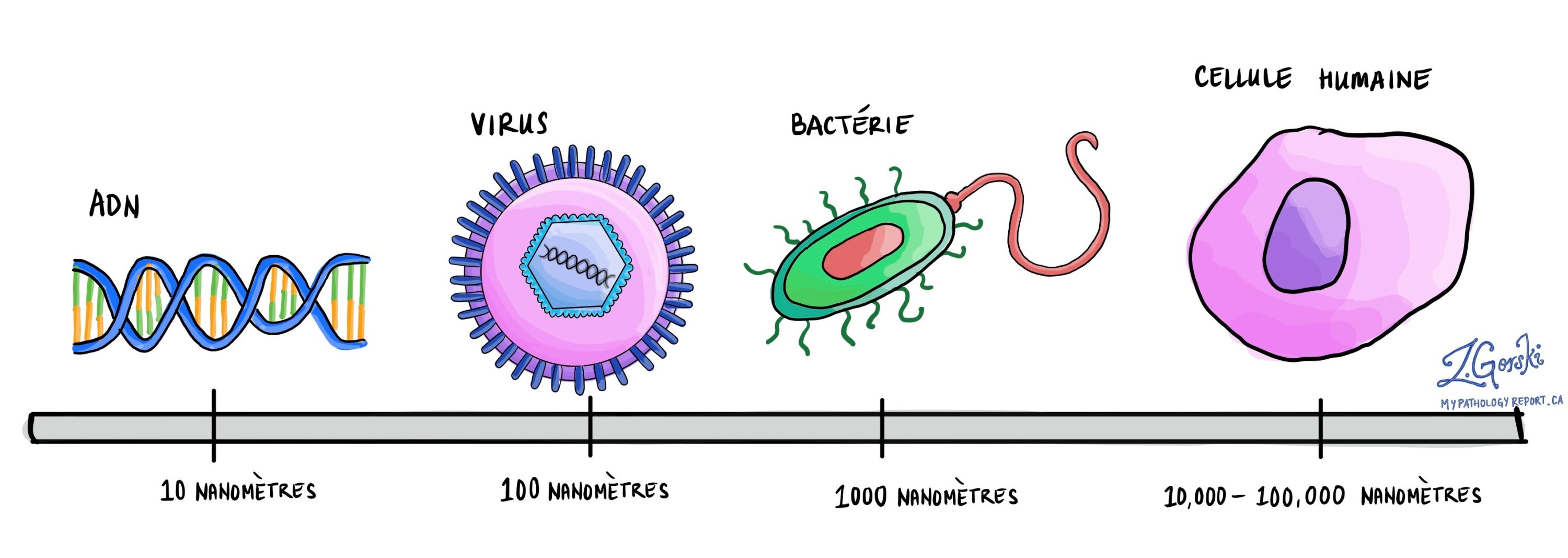Virus vs bacteria vs human cell french