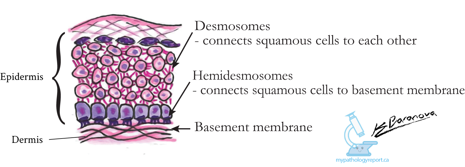 Demosomes and Hemidesmosome