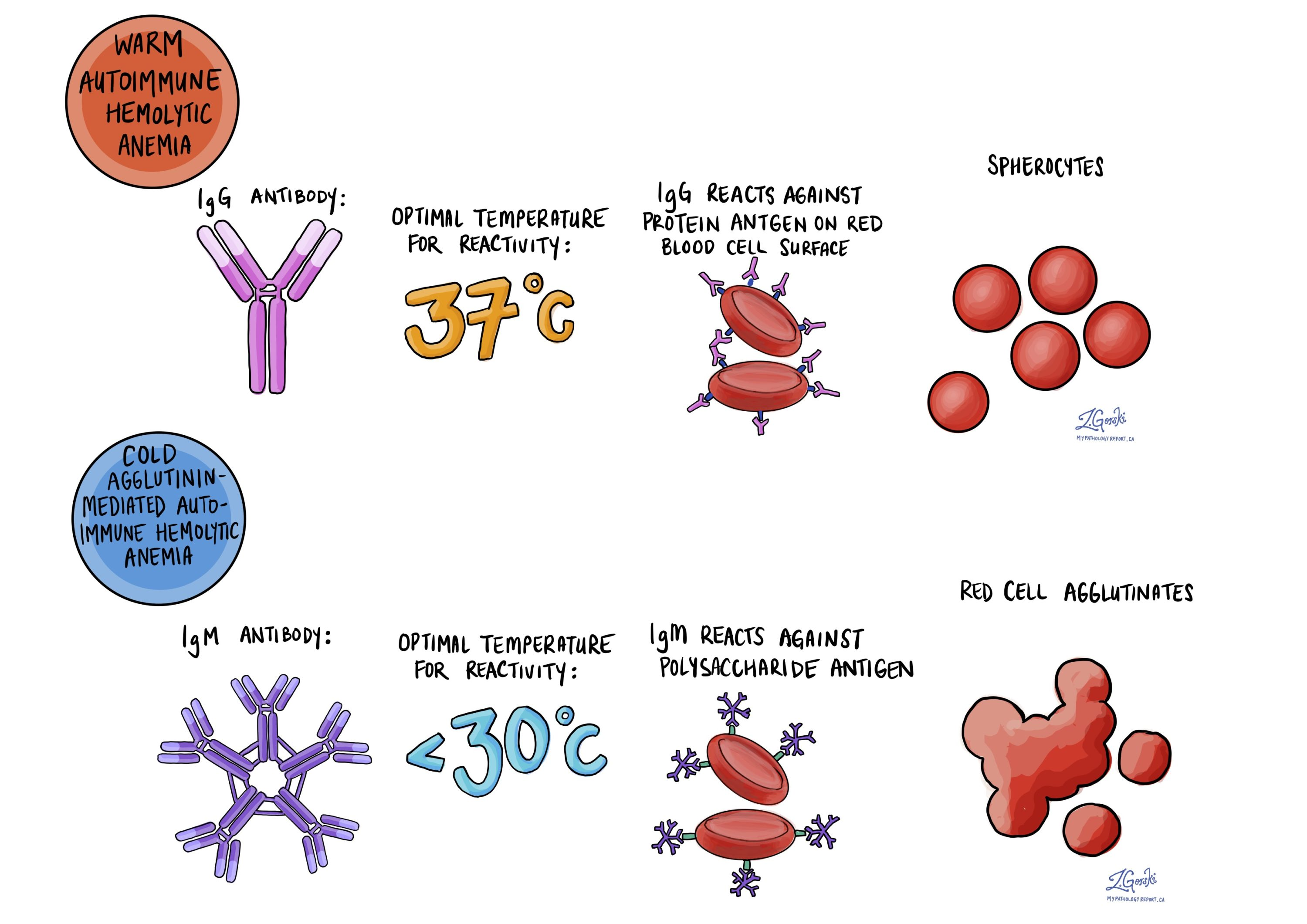 Warm and cold agglutination