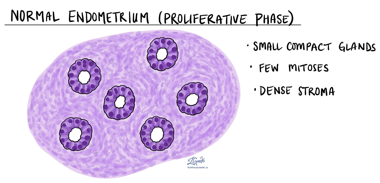 Normal endometrium