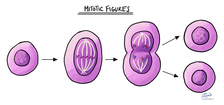 Mitotic figure