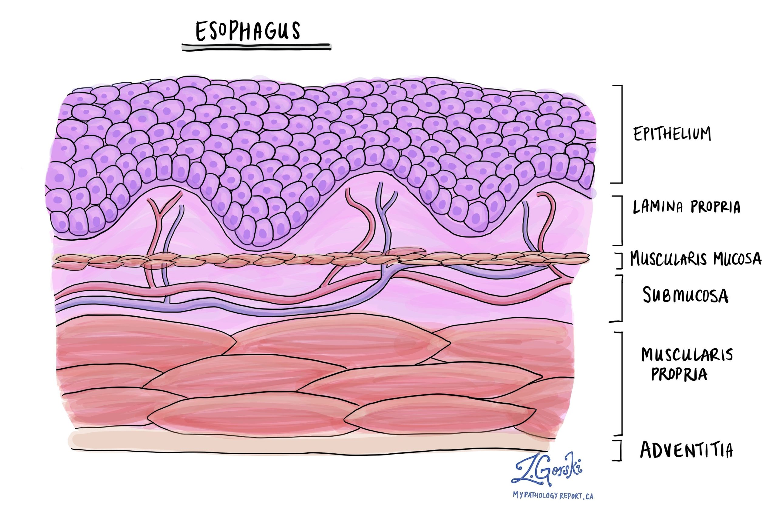 normal esophagus histology